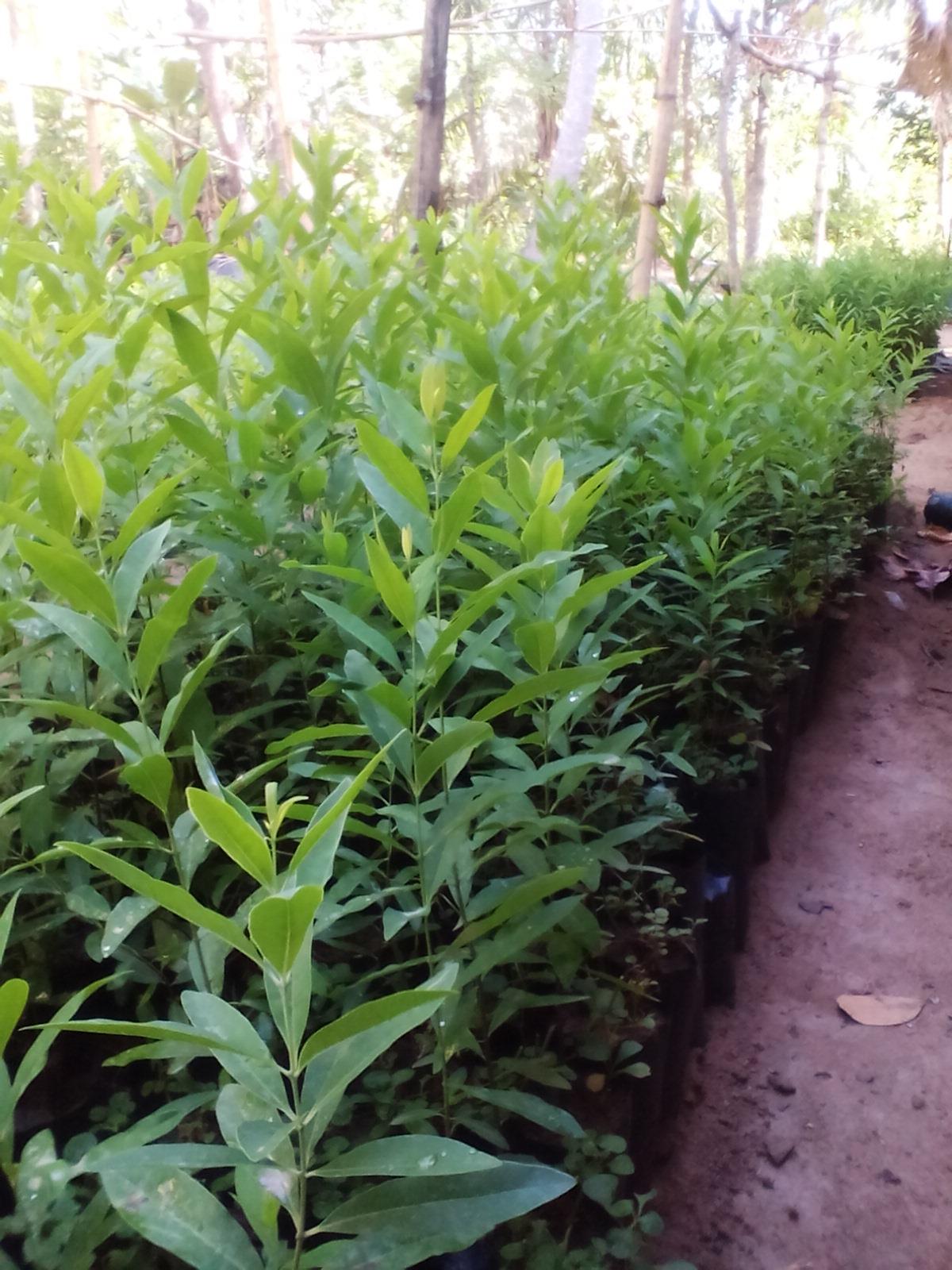 Agarwood plants -Wallapatta / Sandalwood plants for Sale - adahari com