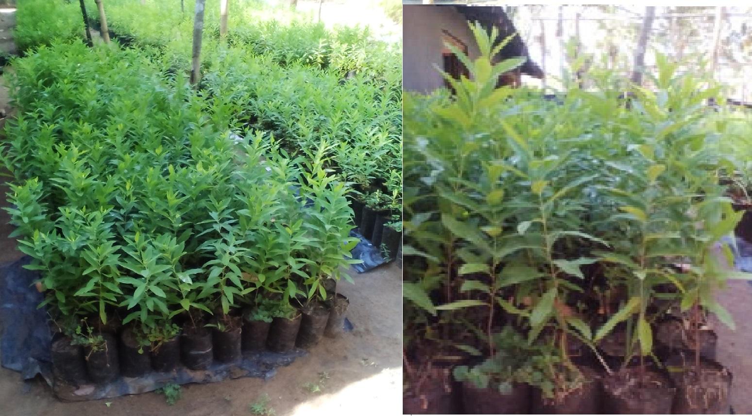 By Photo Congress || Agarwood Seeds Sri Lanka